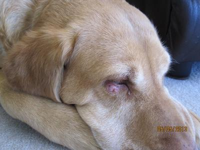 Abscess on Dog's Eyelid