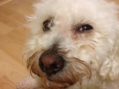 Bichon Eye Problems Goldenacresdogs