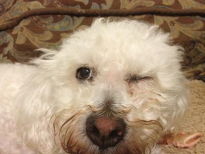 Bichon With Eye Irritation