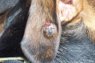 Nodules on Dogs http://www.organic-pet-digest.com/black-crusty-or-ulcerated-lump-on-dogs-ear.html