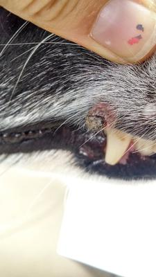 dog lip growth - picture 1