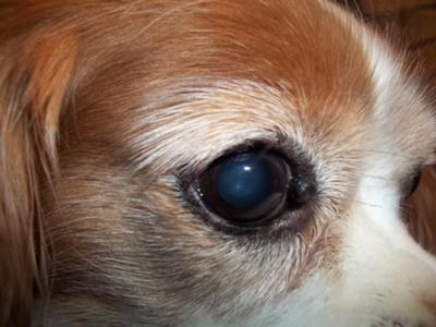 Dog Eye Growths