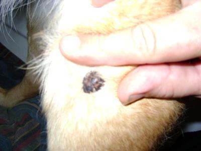 Black Mole On Dog Skin