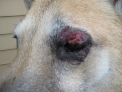 Bleeding dog eye infection - Photo 1