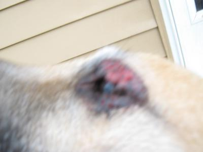 Bleeding dog eye infection - Photo 2