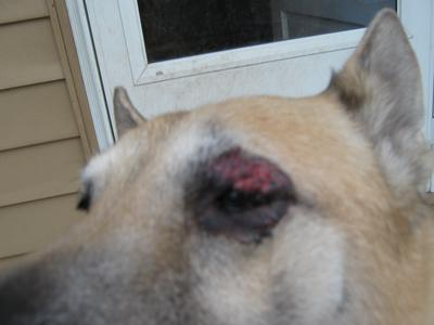 Bleeding dog eye infection - Photo 3