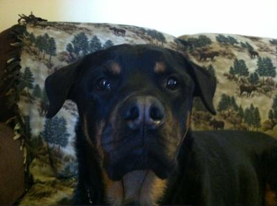 My Rottie Coda
