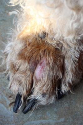 front left paw with bump and open sore