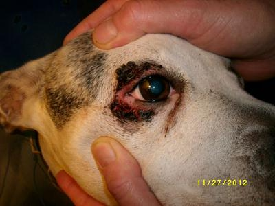 Yeast Infection Around Eyes Dogs