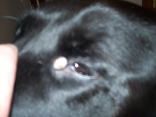 Cyst in Corner of Dog's Eye - Photo 2