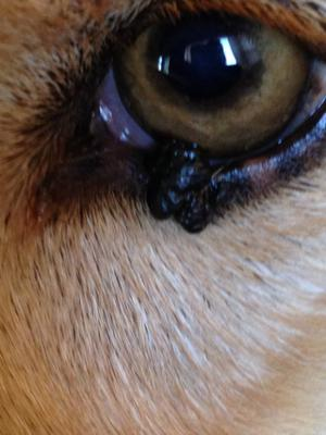 Dog Eyelid Growth