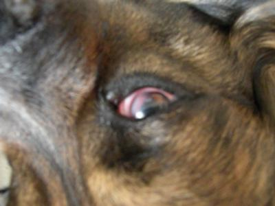Dog Whites Of Eye Are Red