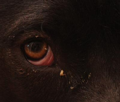 Dog Has A Goopy Red Eye