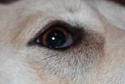 My Dog Has Watery Eyes With Discharge