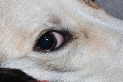 Dog Eye Irritation Amp Discharge With Pinkness Around Inside