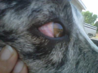 White Of Dog S Eye Bulging