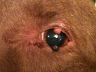 Dog Eye Warts - Photo 1