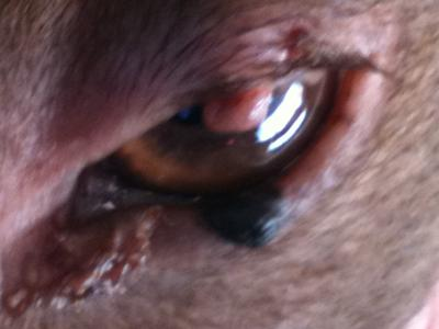 Dog Eye Warts - Photo 2
