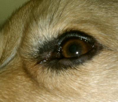 Punky's eyelid irritation
