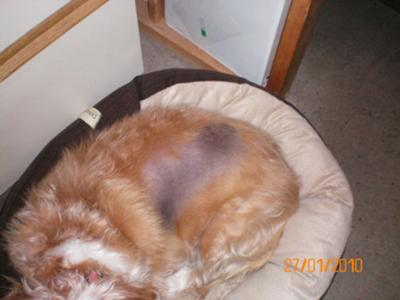 Dog Losing Hair Skin Problem Hormonal Condition
