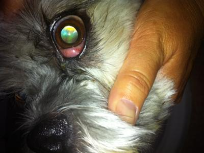 Picture of dog swollen eye