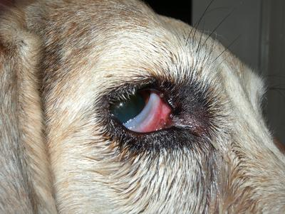 Dog with possible Cherry Eye?