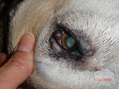 Close-up: growth on dog's eyelid