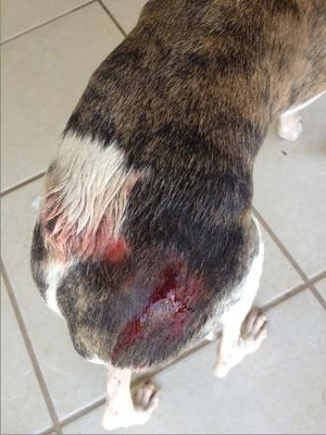 Punctured Tumors on Dog's Back