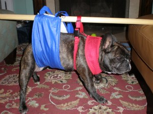 Dog With Spinal Cord Problem And Partially Paralyzed