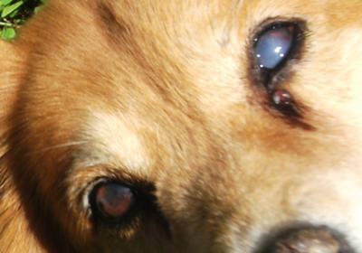 My Dog Has Milky Eyes