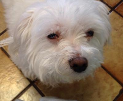 Maltese with TWO Eye Infections