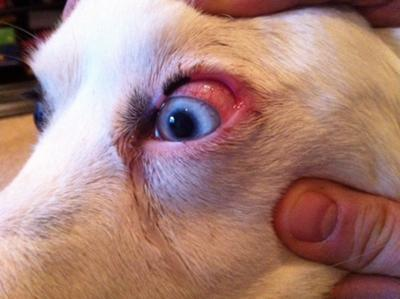 Bloodshot Eyes In Dogs After Grooming