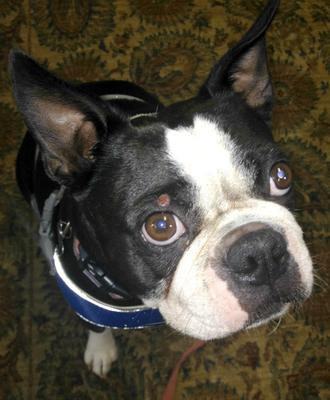 Growth on Boston Terrier's Eyelid