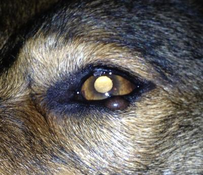 Growth on dog's upper and lower eyelid