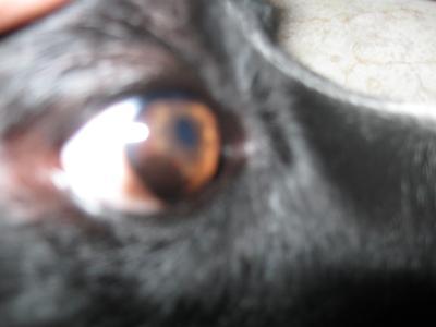Dog Eye Pannus #1