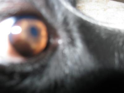 Dog Eye Pannus #2