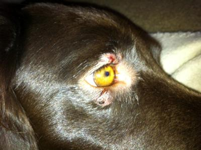 Tick Bite On Dog Eyelid
