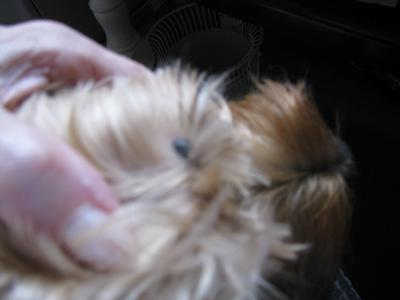 Mole on Dog's Face Above Eyebrow - Photo 2