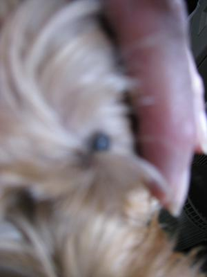 Mole on Dog's Face Above Eyebrow - Photo 1