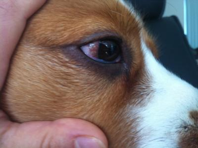 Dogs eye conditions pictures