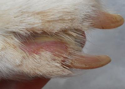 Red Amp Irritated Between Dog S Toes Amp Pinkish Swelling In Mouth