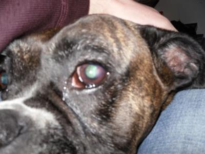 Causes Of Weeping Eyes In Dogs