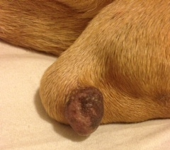 Photo of growth on dog's leg