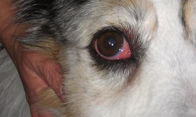 Dogs Eye Membrane Stuck