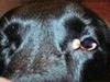 Cyst in Corner of Dog's Eye - Photo 1