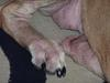 Dog Bacterial Skin Infection / Allergies - Photo 2