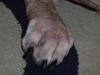 Dog Bacterial Skin Infection / Allergies - Photo 3