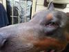 dog eye growth or protrusion - photo 2