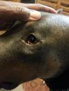 dog eye growth or protrusion - photo 3