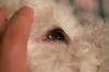 White spot on dog's eye - photo 2